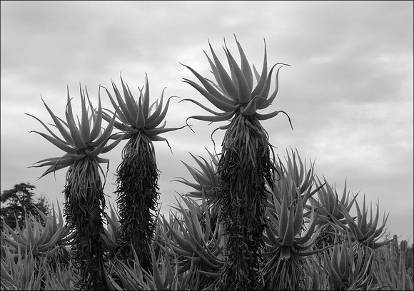 Aloes & Clouds